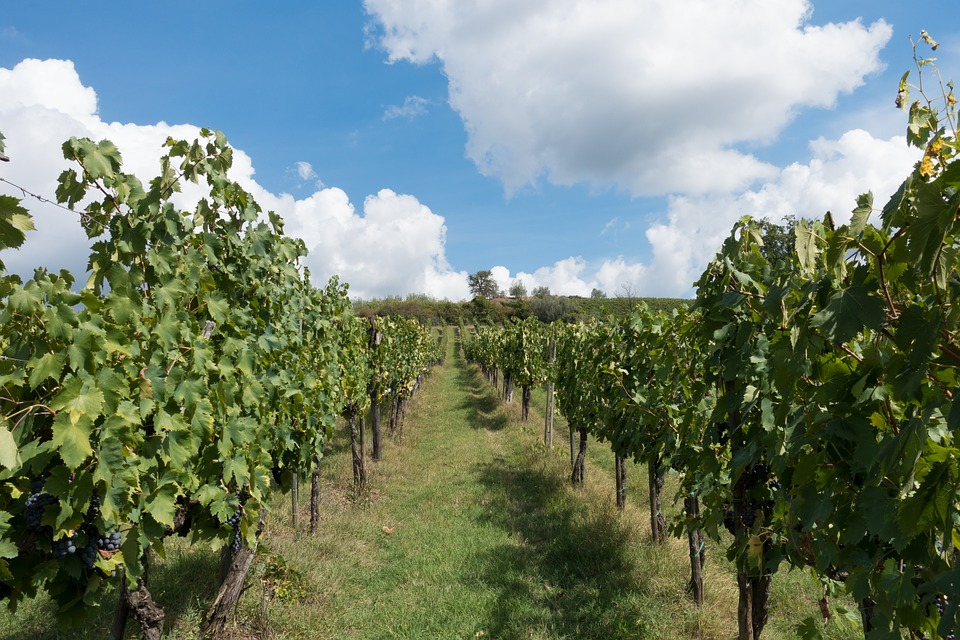 vines of the Italian wine in the world