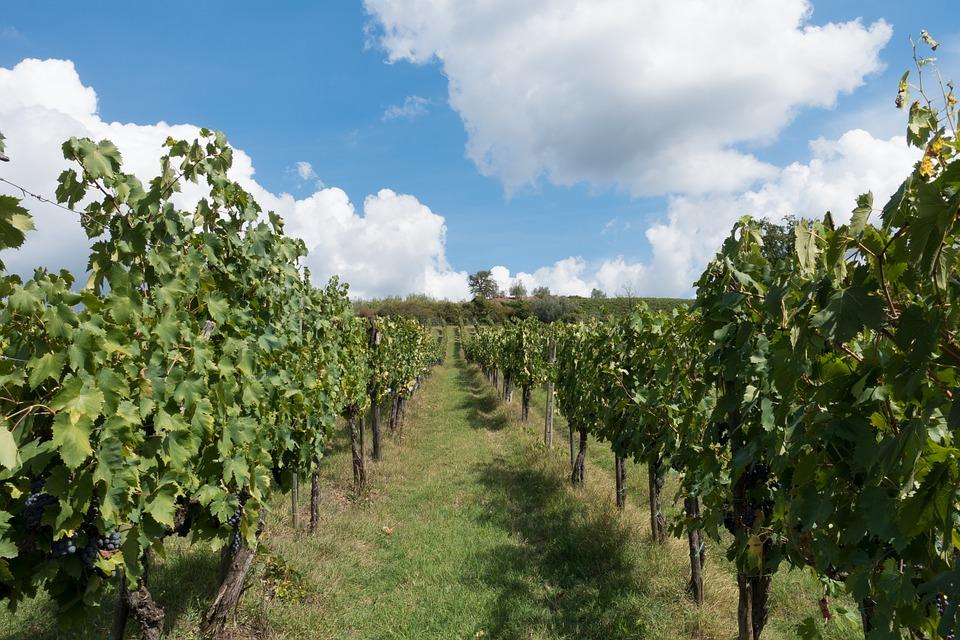 Vitigni del Chianti, il vino italiano nel mondo