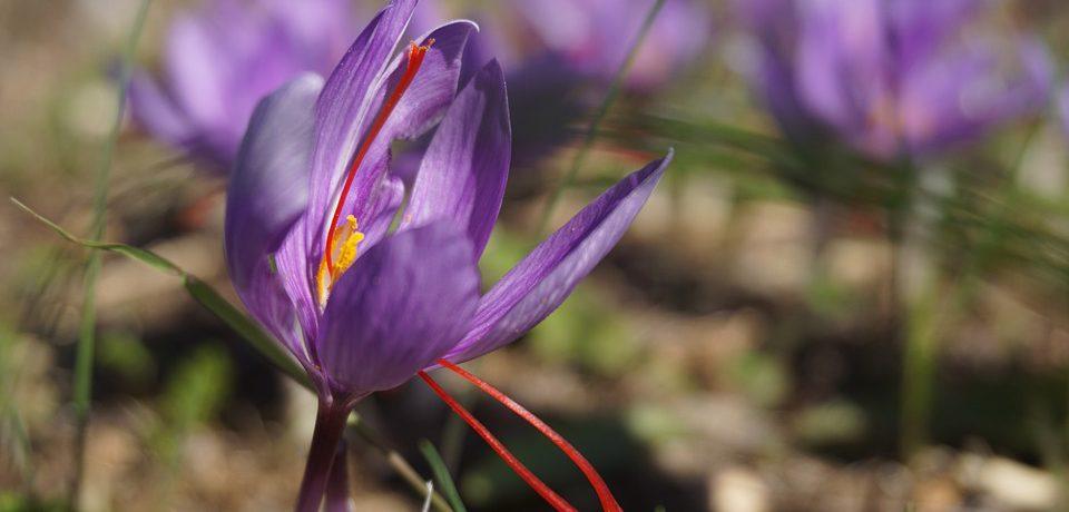 Il fiore dello zafferano utilizzato nei prodotti Tindora Cosmetics