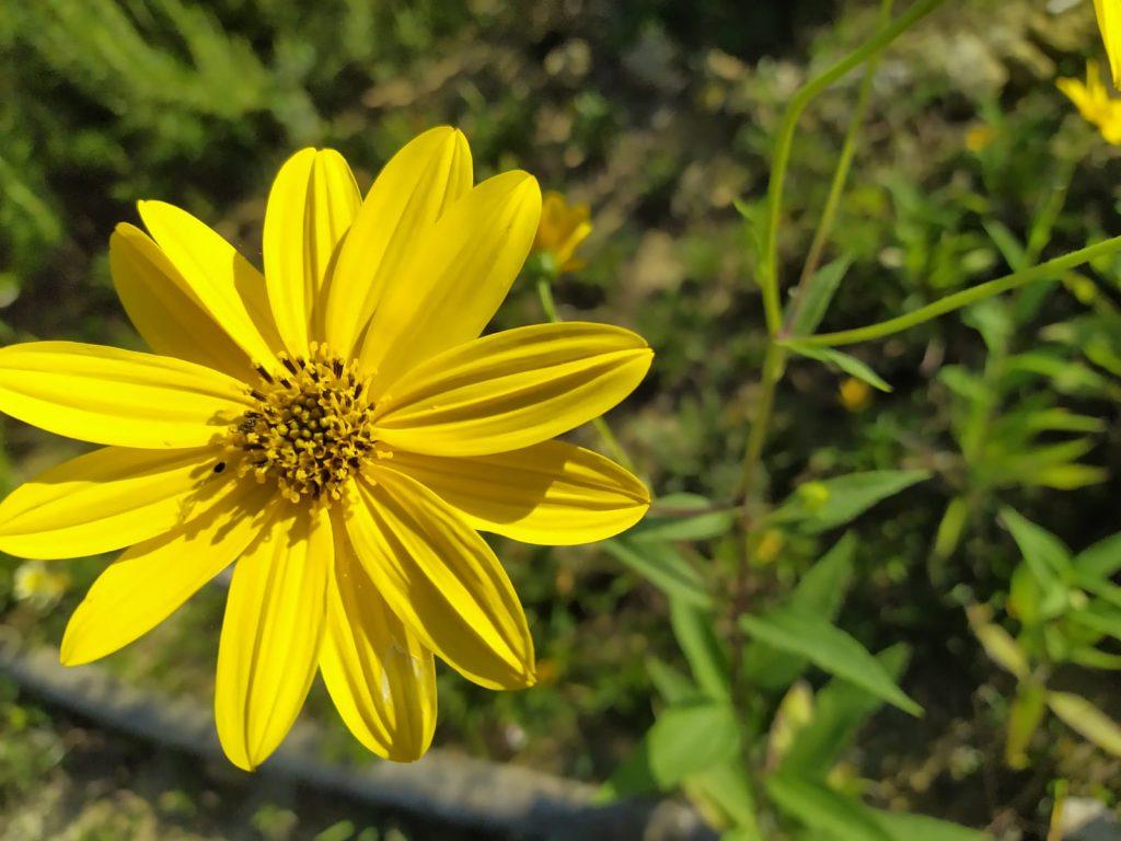 l'artemisia, una delle erbe medicinali