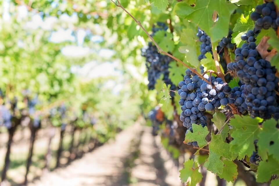 i vitigni indicati nel disciplinare dei vini