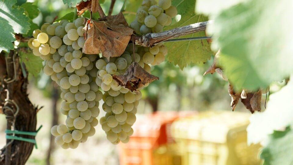 l'uva per produrre il miglio vino in vendita online