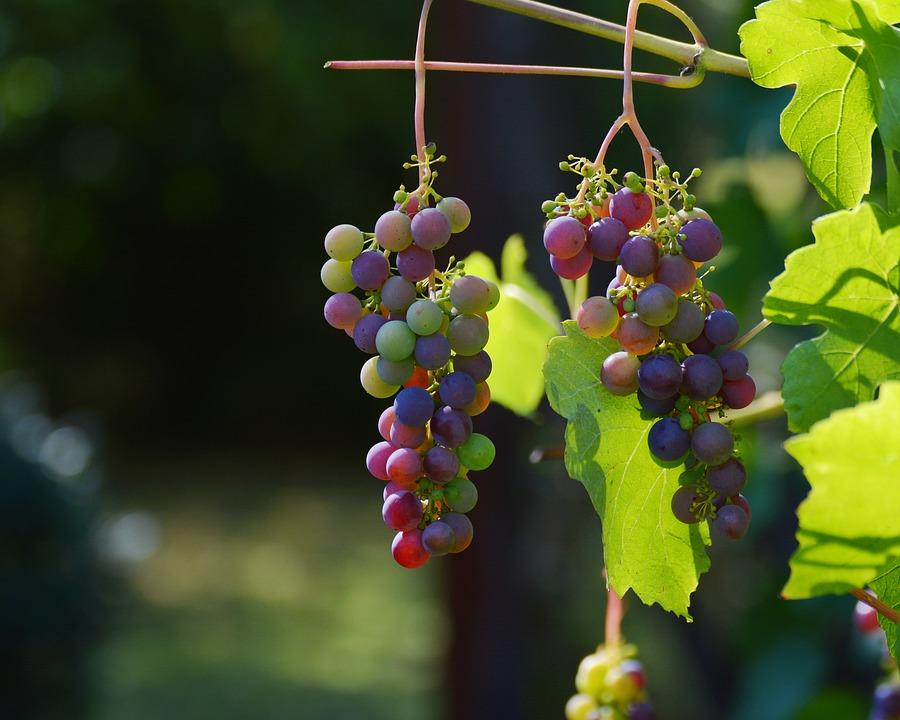 uva della regione del Chianti