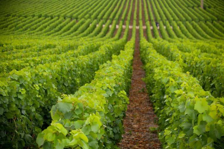 Le vigne a coltivazione biologica