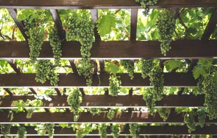 l'uva usata per fare il vino biologico