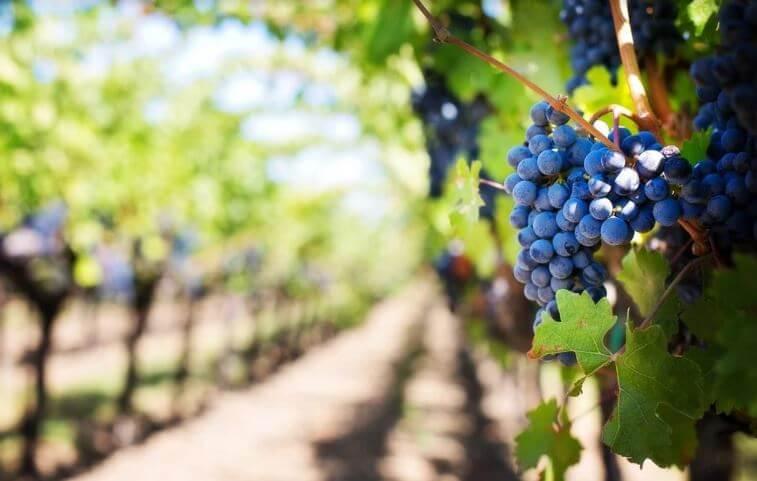 le uve utilizzate per produrre vino biologico