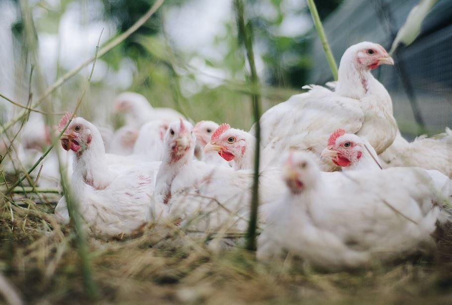 galline da allevamento