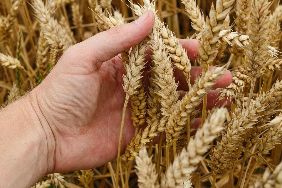 il grano per fare il pane di Sapori di libertà